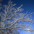 Fresh Snowfall Blankets Tree Branches by Tim Laman