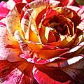 Full Bloom by Susan Herber