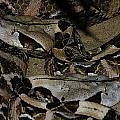 Gaboon Viper by Scott Hovind