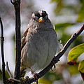 Gambel's White Crowned Sparrow by Ronda Broatch
