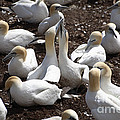 Gannet Birds Showing Fencing Behavior by Ted Kinsman