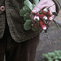 Gardener Holding Freshly Picked Radishes by Maxine Adcock
