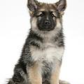 German Shepherd Puppy by Mark Taylor