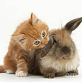 Ginger Kitten And Young Lionhead-lop by Mark Taylor