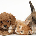 Ginger Kitten With Cavapoo Pup by Mark Taylor