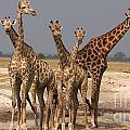 Giraffes by Mareko Marciniak