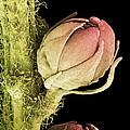 Goat's Beard Flower, Sem by Steve Gschmeissner