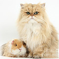 Golden Chinchilla Persian Cat by Mark Taylor