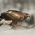 Golden Eagle by Andy Astbury