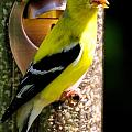 Golden Finch by Terri Albertson