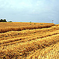 Golden Harvest Field 1 by Mike Nellums