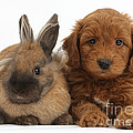 Goldendoodle Puppy And Rabbit by Mark Taylor