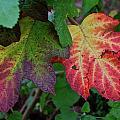 Grape Leaves by Lori Leigh