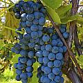 Grapes On A Vine Sutton Junction Quebec by David Chapman