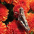 Grasshopper by Michele Caporaso