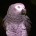 Gray Parrot by Paul W Faust -  Impressions of Light