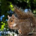 Gray Squirrel by Fabrizio Troiani