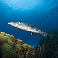 Great Barracuda, Belize by Todd Winner