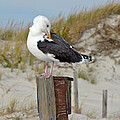 Great Black-backed Gull    Larus Marinus by Mother Nature