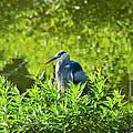 Great Blue Heron Hiding by J Larry Walker