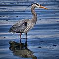 Great Blue Heron by Karen Ulvestad