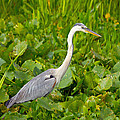 Great Blue Heron by Wild Expressions Photography