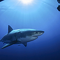Great White Shark, Guadalupe Island by Todd Winner