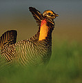 Greater Prairie Chicken Male by Tim Fitzharris