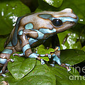 Green And Black Poison Frog by Dante Fenolio
