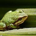 Green Frog by Mitch Shindelbower