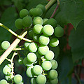 Green Grape Bunch by Igor Sinitsyn