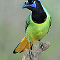 Green Jay  by Dave Mills