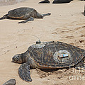 Green Sea Turtles With Gps by Ted Kinsman
