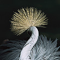 Grey Crowned Crane Balearica Regulorum by Konrad Wothe
