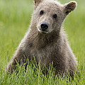 Grizzly Bear Ursus Arctos Horribilis by Matthias Breiter