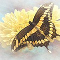 Grunge Giant Swallowtail by Rudy Umans