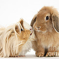 Guinea Pig And Rabbit by Mark Taylor