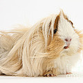 Guinea Pig by Mark Taylor