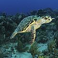 Hawksbill Turtle On Caribbean Reef by Karen Doody