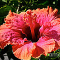 Hibiscus Blossom by Susan Herber