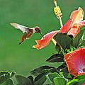 Hibiscus Hummer by Lynn Bauer
