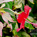 Hibiscus In Bloom by Pravine Chester