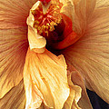 Hibiscus Interior by Nancy Griswold