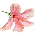 Hibiscus by Nicholas Burningham