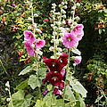 Hollyhock (alcea Rosea) by Dr Keith Wheeler