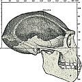 Homo Erectus Skull by Sheila Terry