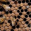 Honey Bees by Raul Gonzalez Perez