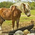 Horse Near Strone Wall In Field Spring Maine by Keith Webber Jr