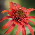 Hot Papaya Coneflower Squared by Teresa Mucha