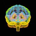 Human Brain, Artwork by Mehau Kulyk